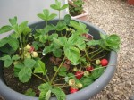 06d-2014-strawberries ripen (800x600)