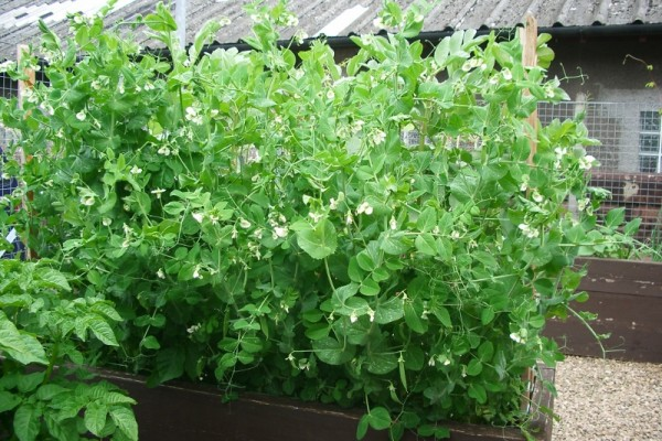06b-Spring 2014-beans flourish (800x600)