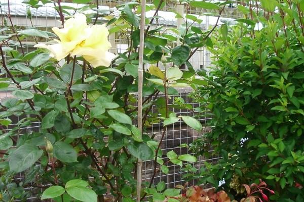 06c-2014-roses bloom (600x800)