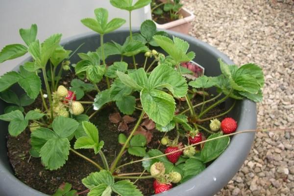 06d-2014-strawberries ripen (800x600)