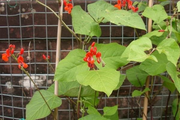 06e-2014- runner beans flower (600x800)