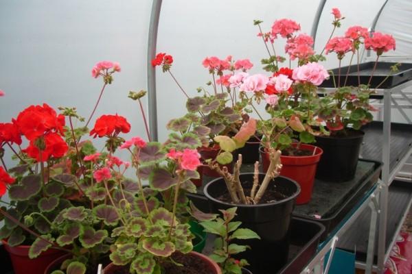 06f-polytunnel plants  (800x600) (2)